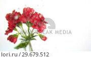 Купить «Water dripping on flowers in super slow motion», видеоролик № 29679512, снято 26 января 2012 г. (c) Wavebreak Media / Фотобанк Лори