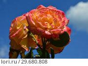 Купить «Чайно-гибридная роза Филипп Нуаре (лат. Philippe Noiret). Meilland, Франция 1999», эксклюзивное фото № 29680808, снято 1 июля 2015 г. (c) lana1501 / Фотобанк Лори
