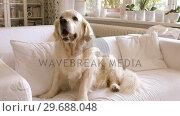 Купить «Pet dog relaxing on a sofa», видеоролик № 29688048, снято 1 июля 2016 г. (c) Wavebreak Media / Фотобанк Лори