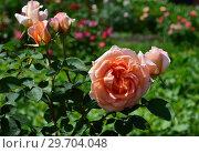 Роза чайно-гибридная Спешл Окейжн (Спешл Оккэйжн), (Спешиал Окэйжен), (Rosa Special Occasion). Fryer's Roses, Великобритания 1995. Стоковое фото, фотограф lana1501 / Фотобанк Лори