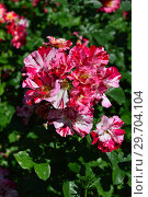 Купить «Роза флорибунда Крэйзи фо Ю (Fourth of July), (Rose Crazy for You). Harkness Roses (Розы Харкнесса), Великобритания 2009», эксклюзивное фото № 29704104, снято 1 июля 2015 г. (c) lana1501 / Фотобанк Лори