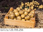 Купить «Картофель нового урожая в деревянном ящике», фото № 29705256, снято 21 августа 2018 г. (c) Ольга Сейфутдинова / Фотобанк Лори