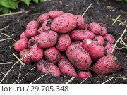 Купить «Картофель нового урожая», фото № 29705348, снято 22 августа 2018 г. (c) Ольга Сейфутдинова / Фотобанк Лори