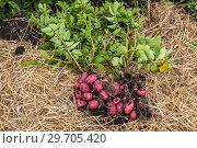 Купить «Картофель нового урожая», фото № 29705420, снято 22 августа 2018 г. (c) Ольга Сейфутдинова / Фотобанк Лори