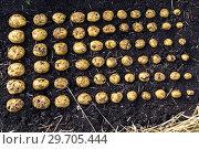 Купить «Картофель нового урожая выложен на земле по размеру клубня», фото № 29705444, снято 22 августа 2018 г. (c) Ольга Сейфутдинова / Фотобанк Лори