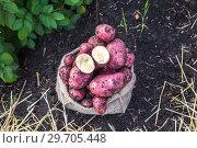 Купить «Картофель в мешочке на поле», фото № 29705448, снято 22 августа 2018 г. (c) Ольга Сейфутдинова / Фотобанк Лори