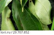 Купить «Rosemary, curry leaf and garlic chives on black background 4k», видеоролик № 29707852, снято 5 июня 2017 г. (c) Wavebreak Media / Фотобанк Лори