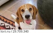 Купить «Cute dog looking into the camera 4K 4k», видеоролик № 29709340, снято 31 мая 2017 г. (c) Wavebreak Media / Фотобанк Лори