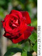 Купить «Роза чайно-гибридная Биколетт (Биколете), (лат. Rosa Bicolette). Laperriere (Лаперье). Ernest Tschanz, Швейцария 1980», эксклюзивное фото № 29711988, снято 27 июля 2015 г. (c) lana1501 / Фотобанк Лори