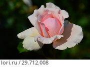 Купить «Роза чайно-гибридая Роберто Капуччи (BAR 5069, BARcapu, Julie Debazac) (лат. Rosa Roberto Capucci). Barni (Розы Барни), Италия 2000», эксклюзивное фото № 29712008, снято 27 июля 2015 г. (c) lana1501 / Фотобанк Лори