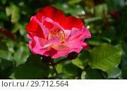Купить «Роза флорибунда Крэйзи фо Ю (Fourth of July), (лат. Crazy for You). Harkness Roses (Розы Харкнесса), Великобритания 2009», эксклюзивное фото № 29712564, снято 15 июля 2015 г. (c) lana1501 / Фотобанк Лори