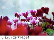 Купить «Цветущий цикламен Cyclamen persicum», фото № 29714584, снято 6 июля 2017 г. (c) Татьяна Белова / Фотобанк Лори