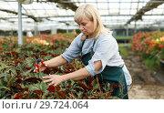 Купить «Mature female gardener with scissors cutting begonia plants in greenhouse», фото № 29724064, снято 20 августа 2018 г. (c) Яков Филимонов / Фотобанк Лори