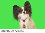 Купить «Beautiful dog Papillon with medal for first place on the neck on green background», фото № 29728856, снято 25 августа 2019 г. (c) Юлия Машкова / Фотобанк Лори