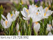 Купить «White crocus», фото № 29728992, снято 15 апреля 2018 г. (c) Юлия Бабкина / Фотобанк Лори