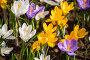 Купить «Colorful crocus on flowerbed», фото № 29728996, снято 15 апреля 2018 г. (c) Юлия Бабкина / Фотобанк Лори
