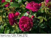Роза кустарниковая Дарси Басселл (AUSdecorum, Monferrato), (лат. Rosa Darcey Bussell). David Austin, Великобритания 2006. Стоковое фото, фотограф lana1501 / Фотобанк Лори