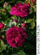 Купить «Роза кустарниковая Дарси Басселл (AUSdecorum, Monferrato), (Rose Darcey Bussell). David Austin Roses, Великобритания 2006», эксклюзивное фото № 29734276, снято 27 июля 2015 г. (c) lana1501 / Фотобанк Лори