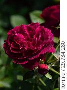 Купить «Роза кустарниковая Дарси Басселл (AUSdecorum, Monferrato), (лат. Rose Darcey Bussell). David Austin Roses, Великобритания 2006», эксклюзивное фото № 29734280, снято 27 июля 2015 г. (c) lana1501 / Фотобанк Лори