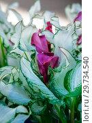 Купить «Калла Зантедеския (Zantedeschia Frozen Queen)», фото № 29734540, снято 11 июля 2018 г. (c) Татьяна Белова / Фотобанк Лори
