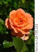 Купить «Роза флорибунда Супер Трупер (лат. Super Trouper, FRYleyeca)», эксклюзивное фото № 29735232, снято 25 июля 2015 г. (c) lana1501 / Фотобанк Лори
