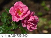 Купить «Роза флорибунда Джек Вуд (Belle Danielle, FRYdabble), (лат. Jack Wood). Fryer's Roses, Великобритания 1999», эксклюзивное фото № 29735340, снято 17 июля 2015 г. (c) lana1501 / Фотобанк Лори