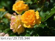 Купить «Роза флорибунда Абсолютлей Фабулос (Абсолютли Фабулос, Julia Child, Anisade, Wekvossutono) (лат. Absolutly Fabulous). Carruth США, Нидерланды. Harkness Roses, Великобритания 2004», эксклюзивное фото № 29735344, снято 17 июля 2015 г. (c) lana1501 / Фотобанк Лори