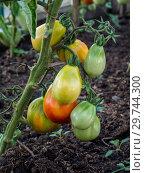 Купить «Green tomatoes. Shallow depth of field. Close up.», фото № 29744300, снято 25 июля 2017 г. (c) Евгений Бобков / Фотобанк Лори