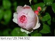 Роза чайно-гибридная Сейнт Свизан (AUSwith, Сейнт Суитун), (лат. St Swithun, Saint Swithun). David Austin (Девид Остин), Великобритания 1994. Стоковое фото, фотограф lana1501 / Фотобанк Лори