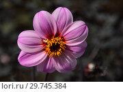 Купить «Цветок простого, однорядного георгина (международное обозначение - Sin, Single-flowered dahlias)», эксклюзивное фото № 29745384, снято 19 июня 2016 г. (c) lana1501 / Фотобанк Лори