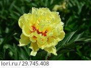 Пион Бартзелла (лат. Paeonia Bartzella) Стоковое фото, фотограф lana1501 / Фотобанк Лори