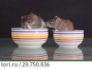 Купить «Domestic rats in plates», фото № 29750836, снято 23 июня 2014 г. (c) Argument / Фотобанк Лори