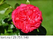 Купить «Роза плетистая Антик 89 (KORdalen, Antike 89, Antique), (Rosa Antique 89). W.Kordes Sohne, Germany 1989», эксклюзивное фото № 29751140, снято 24 августа 2015 г. (c) lana1501 / Фотобанк Лори