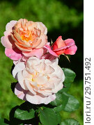 Купить «Роза флорибунда Дистант Драмс (Дистант Дримс, Дистэнт Драмс), (лат. Rosa Distant Drums).  Dr. Griffith J. Buck, США 1984», эксклюзивное фото № 29751492, снято 20 августа 2015 г. (c) lana1501 / Фотобанк Лори