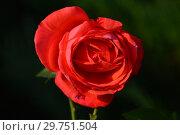 Купить «Роза чайно-гибридная Прайд оф Скотланд (Гордость Шотландии, Прайд оф Скотланд, MACwhitba, Massey University) (лат. Pride Of Scotland)  McGredy, Великобритания 2003», эксклюзивное фото № 29751504, снято 26 августа 2015 г. (c) lana1501 / Фотобанк Лори