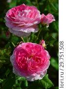 Купить «Роза кустарниковая Мадам де Сталь (Мадам де Стаел, Masmast), (Madame de Stael). Guillot Massad, France 2009», эксклюзивное фото № 29751508, снято 16 августа 2015 г. (c) lana1501 / Фотобанк Лори