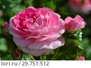 Купить «Роза кустарниковая Мадам де Сталь (Мадам де Стаел, Masmast), (лат. Madame de Stael). Guillot Massad, Франция 2009», эксклюзивное фото № 29751512, снято 16 августа 2015 г. (c) lana1501 / Фотобанк Лори