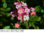 Купить «Мускусная роза Моцарт (Mozart). P. Lambert, Германия 1937», эксклюзивное фото № 29752196, снято 24 августа 2015 г. (c) lana1501 / Фотобанк Лори