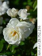 Купить «Роза флорибунда Айсберг (Икеберг, Fee des Neiges, Schneewittchen), (Rosa Iceberg). R.Kordes, Германия 1958», эксклюзивное фото № 29752216, снято 24 августа 2015 г. (c) lana1501 / Фотобанк Лори