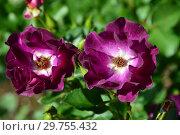 Купить «Роза полиантовая Роут 66 (Роуте 66, WEKmorfis), (лат. Route 66). Tom Carruth, США 2001», эксклюзивное фото № 29755432, снято 14 августа 2015 г. (c) lana1501 / Фотобанк Лори