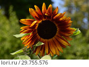 Декоративный подсолнечник, или гелиантус (лат. Helianthus) Вечернее солнце. Стоковое фото, фотограф lana1501 / Фотобанк Лори