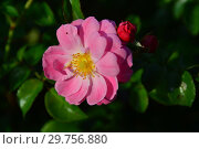 Купить «Мускусная роза (шраб) Моцарт (лат. Rosa Mozart). P. Lambert (Peter Lambert), Germany 1937», эксклюзивное фото № 29756880, снято 26 августа 2015 г. (c) lana1501 / Фотобанк Лори