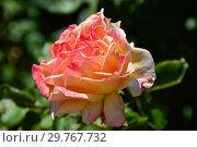 Роза чайно-гибридная чайно-гибридная Голден Олди (Fryescape), (лат. Golden Oldie). Fryer's Roses, Великобритания 2000. Стоковое фото, фотограф lana1501 / Фотобанк Лори