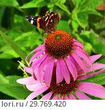Купить «butterfly sits on a pink Echinacea flower», фото № 29769420, снято 21 июля 2018 г. (c) Володина Ольга / Фотобанк Лори
