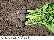 Урожай черной редьки на земле в огороде. Стоковое фото, фотограф Елена Коромыслова / Фотобанк Лори