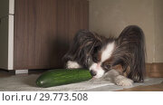 Купить «Dog Papillon eats fresh green cucumber with appetite footage video», видеоролик № 29773508, снято 21 января 2019 г. (c) Юлия Машкова / Фотобанк Лори