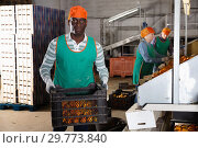 Купить «Man working on sorting line at fruit warehouse, stacking boxes with selected tangerines», фото № 29773840, снято 15 декабря 2018 г. (c) Яков Филимонов / Фотобанк Лори