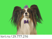 Купить «Beautiful dog Papillon in purple hat with feather and bow on green background», фото № 29777216, снято 25 августа 2019 г. (c) Юлия Машкова / Фотобанк Лори