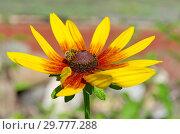 Купить «Пчела на цветке рудбекии (лат.Rudbeckiа)», фото № 29777288, снято 8 августа 2018 г. (c) Елена Коромыслова / Фотобанк Лори