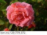Роза чайно-гибридная Сонг энд Дэнс (Сон энд Данс, Hybrid Tea), (лат. Song and Dance, Song & Dance). Roses Fryer's, Великобритания 2005. Стоковое фото, фотограф lana1501 / Фотобанк Лори